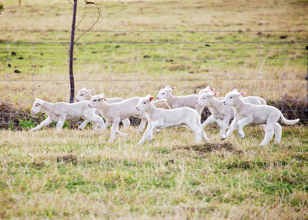 Running of the lambs